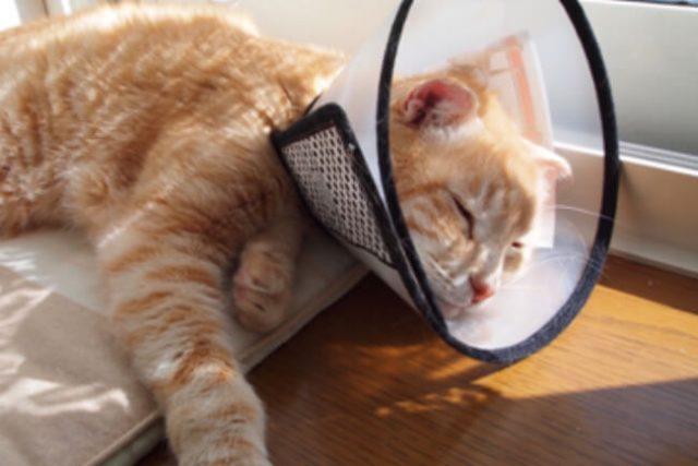 硬い重いエリザベスカラーで元気がなく弱ってしまった猫