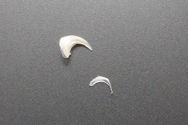 猫の剥がれ落ちた爪