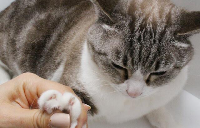 ネコ社員ぽんちゃんの爪