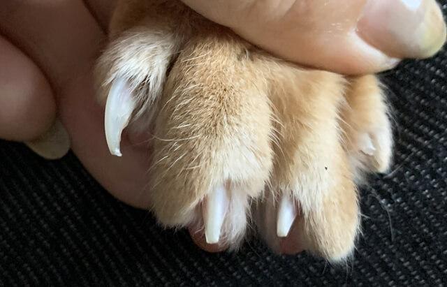 ネコさんの爪の数は全部で何本?