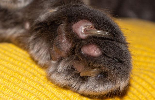 ネコさんに忍び寄る巻き爪の危険