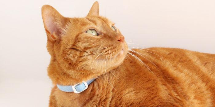 猫にストレスがかからない首輪