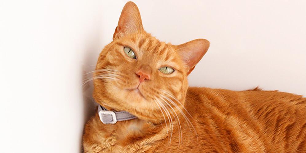 猫にやさしい首輪で苦手を克服
