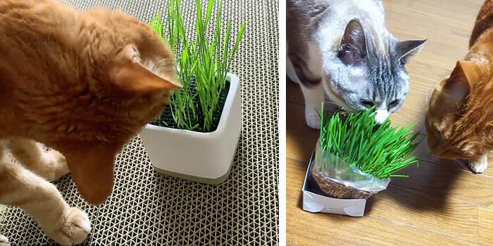 猫草ニャッパはネコさんの体に入る食べ物だから安全安心