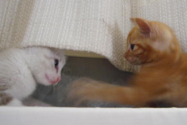 子猫特集:子猫時代のネコ社員